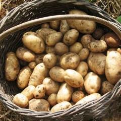 Patata Nueva saco 25 Kg variedad Jaerla ecológica-AGOTADA